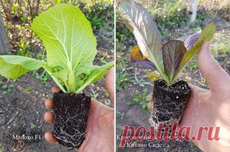 Секреты выращивания пекинской капусты – никаких стрелок! | Личный опыт (Огород.ru)