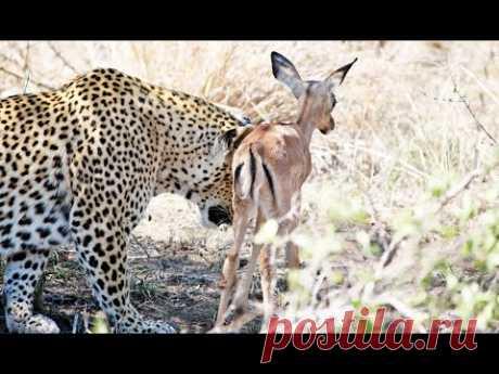 Леопард подружился с детенышем антилопы