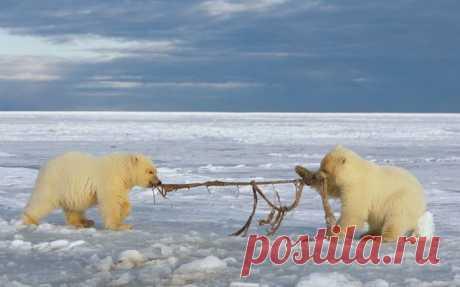 Медведи  проверяют  сеть...