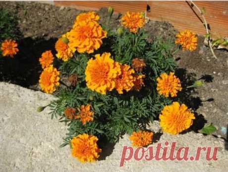 Бархатцы    Цветут везде простые цветы, а цена им — золото!
