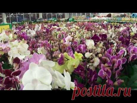 Успеный цветовод. ОРХИДЕЯ. Как ухаживать, пересадка, подкормка, полив flowers - YouTube