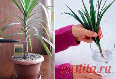 Размножение растений черенками Размножение растений черенками. Растения, в отличие от большинства животных, обладают уникальной способностью: они могут размножаться практически любой