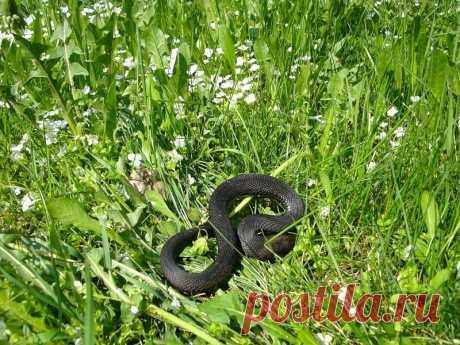 Змеи на садовом участке, как избавиться от этой напасти? | Садовник и Огородник У меня лично змеи вызывают недельный страх, и даже ужас. Даже если я знаю, что это уж все равно не по себе. А ведь есть еще и ядовитые змеи. И в условиях глобального потепления их все чаще видят дачники на своих огородах и в садах.