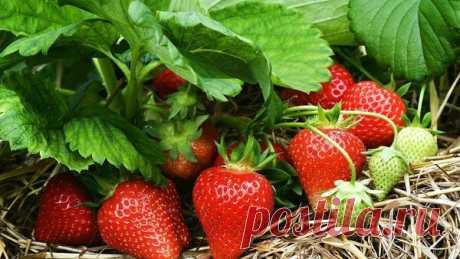 Чем можно опрыскивать клубнику до и во время плодоношения, чтобы она не болела   Летний досуг   Яндекс Дзен