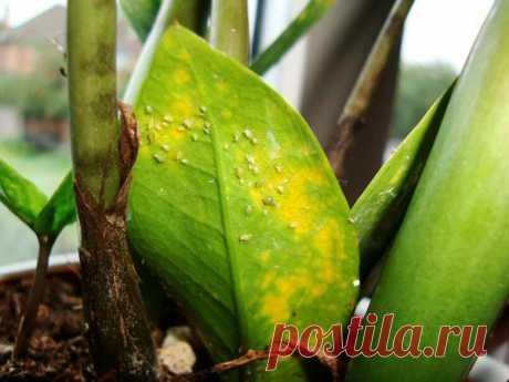 Желтеют листья у замиокулькаса — что делать
