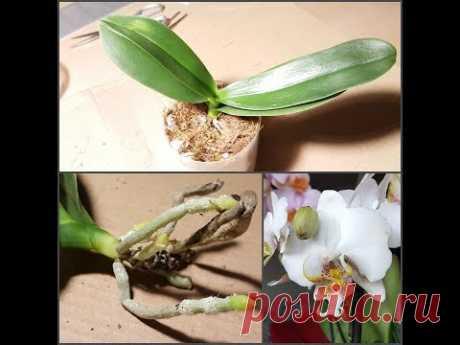 Орхидея с некогда ужасной корневой: успех за полгода (фалик #1)