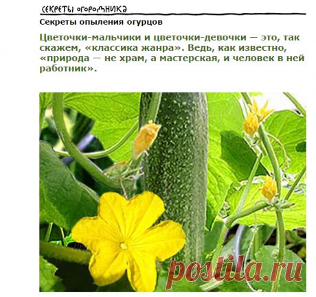 Секреты опыления огурцов » Уютный сад