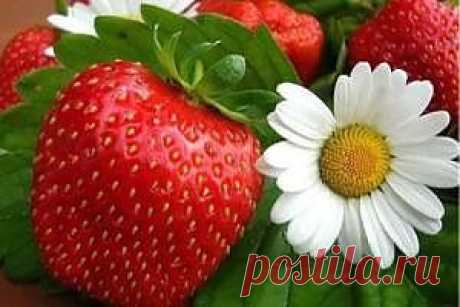 We create a strawberry plantation for a rich harvest | the Social network KP.RU