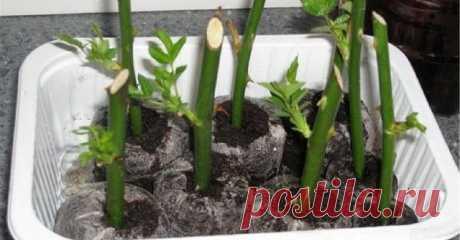 Хотите развести розы у себя дома, на окне? На самом деле, это не составить большого труда! Следуя рецепту «Тройчатка», Вы сможете, даже с увядшего букета, развести красивые цветы. Этот рецепт достаточно эффективный и простой. И не нужно для этого быть опытным садоводом.