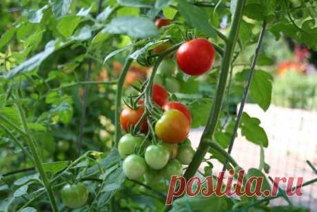Как безопасно подкармливать овощные культуры во время плодоношения? Правила, состав и дозы удобрений - Ботаничка.ru