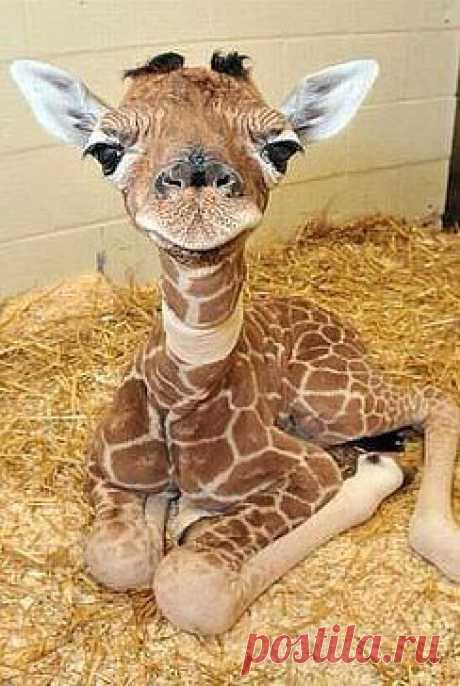 ♥ УТИБОЗЕМОЙ ...жираф , 2 дня как родился