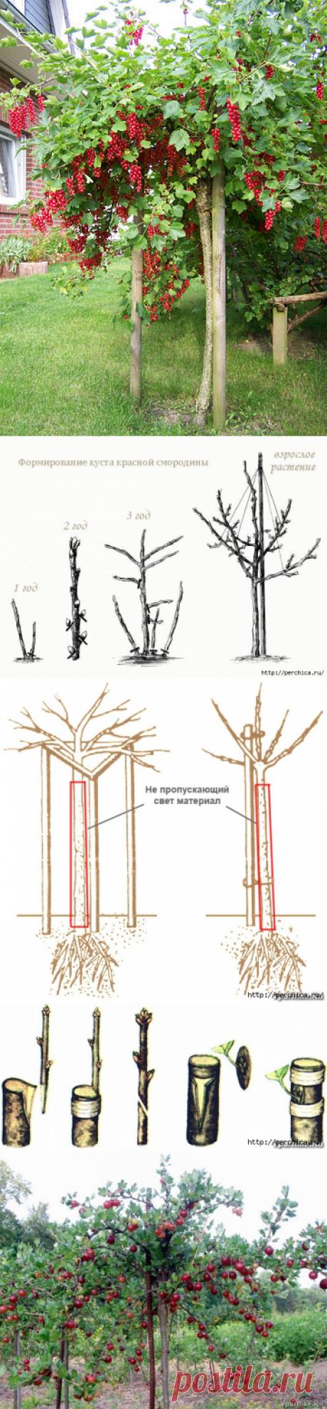 Как сделать из смородины и крыжовника деревце штамбовой формы