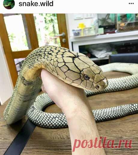 Cobra?