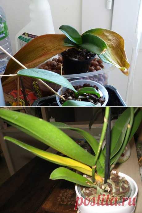 Лечим желтые листья орхидей