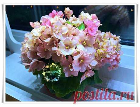 Мои лайфхаки для шапочного цветения фиалок. Советы по удобрению фиалок. | Палисадничек | Яндекс Дзен