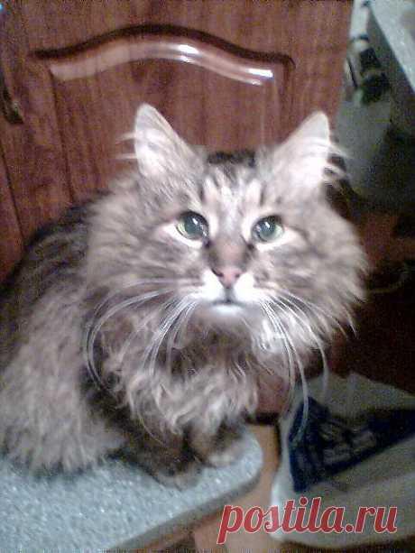 Сибирский кот Барсик.Прожил у нас в семье 17 лет.Месяц назад его не стало...