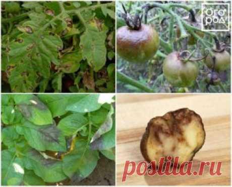 Эффективные народные средства от фитофторы на помидорах и картофеле   Дела огородные (Огород.ru)