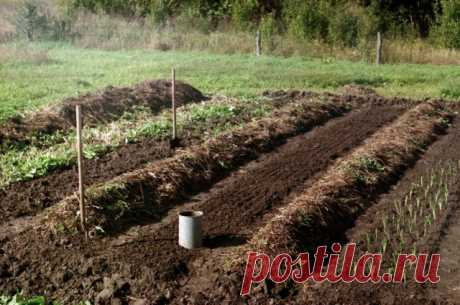 Что можно посадить на грядке после уборки озимого чеснока | Капуста, лук, чеснок (Огород.ru)