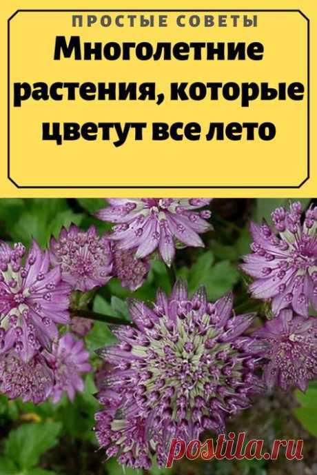 Красивое многолетнее растение около 70 см высотой. Начинает цветение в июне, заканчивает – в августе, если вовремя удалять увядшие бутоны. Цветовая гамма состоит из оттенков розового,