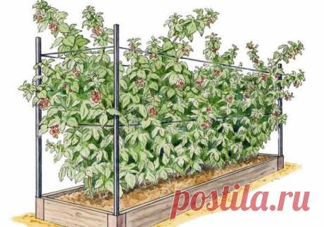 Выращивание малины: как выращивать по методу Соболева, из семян на даче, правильно в домашних условиях, рассада, обрезка, видео, фото