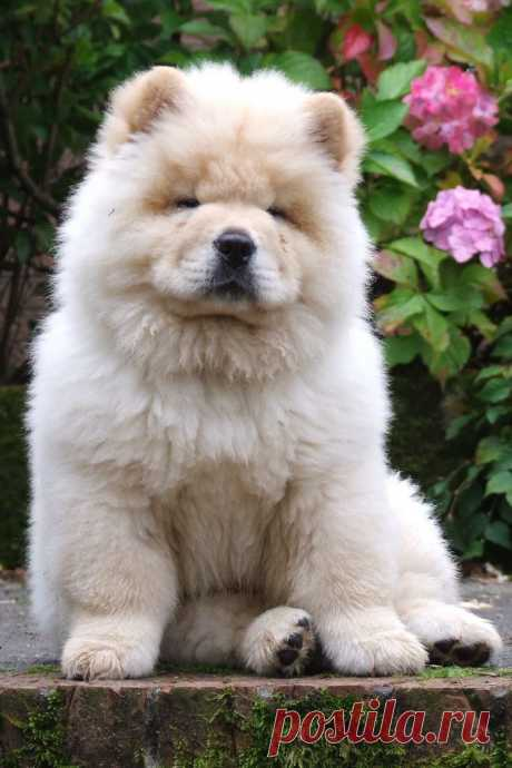 Polo the Chow Chow | Flickr - Photo Sharing!