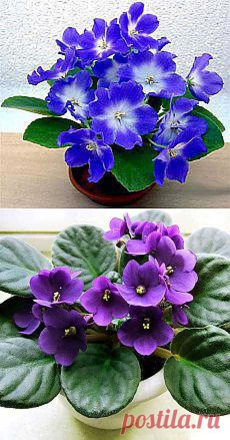 Днепродзержинск ONLINE — Фиалка – одно из самых пышно цветущих комнатных растений