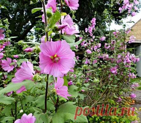 Лаватера, или дикая роза — неподражаемый летник второй половины лета. Виды, условия, уход, размножение. Фото — Ботаничка.ru