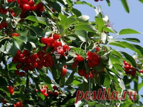 Вишня степная фото и описание. Особенности сорта выращивание и уход