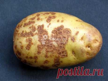 Болезни клубней картофеля фото и описание: защита, лечение и профилактика Болезни клубней и растений картофеля фото и описание. Методы лечения и профилактики всех видов заболеваний картофеля: грибковые, бактериальные, вирусные