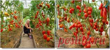 Чем подкормить помидоры - народные средства, советы и отзывы дачников, чем удобряют для хорошего плодоношения
