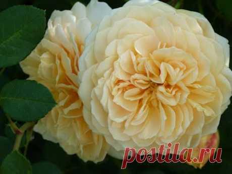 Два вида  базальных побега у роз ,как их формировать?Результат после обработки фитовермом!