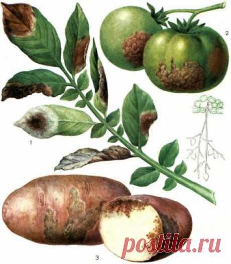 Защита томатов и картофеля от фитофтороза. Эффективные методы борьбы!