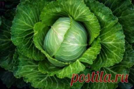 Практические советы по выращиванию капусты - Садоводка