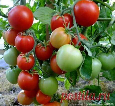 Универсальная подкормка, после которой помидоры усыпаны завязями.