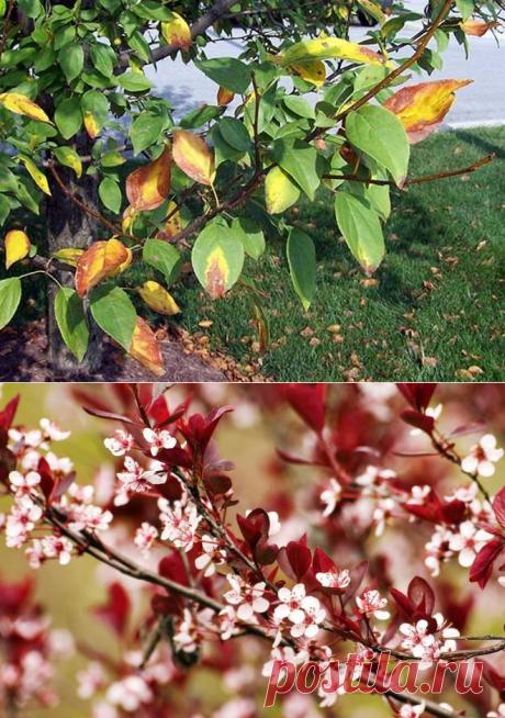 Почему на яблоне и груше краснеют листья?
