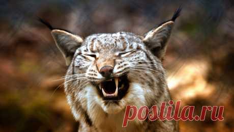Битва дикой рыси с собакой: видео из Тверской области В реабилитационном центре для диких животных «Ромашка» сделали интересное видео.
