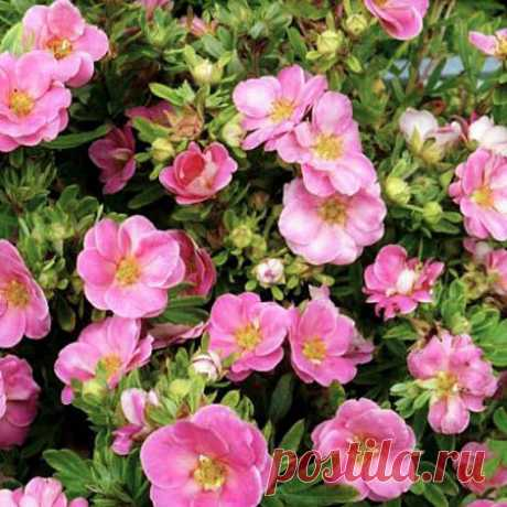 Купить Курильский чай Розовый рай — от НПО Сады Росcии с доставкой