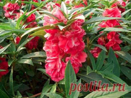 Бальзамин садовый и комнатный — 6 соток