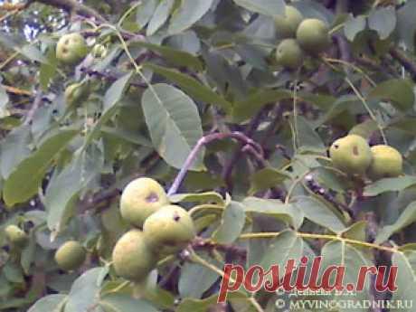 Грецкий орех - размножение и уход