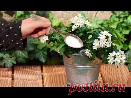 Чайная ложка под любой домашний цветок и цветение пышное будет постоянно!