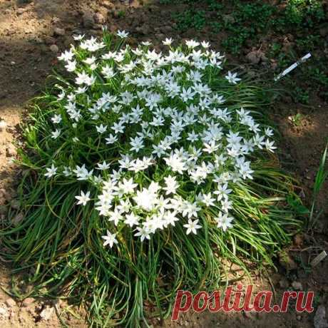 Многолетний садовый цветок Птицемлечник (Ornithogalum). Семейство:  лилейные (Liliaceae).  Синонимы: орнитогалум.  Луковичный многолетник высотой 80-90 см. Луковица округлая или яйцевидная, 2-5 см в диаметре. Листья прикорневые линейные, зеленые или сизо-зеленые. Цветки диаметром 1-3 см, широко раскрытые, белые или желтоватые, по спинке с зеленой полоской, собраны в кистевидное или щитковидное соцветие. Цветет в апреле - июле.