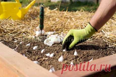 Какая почва нужна при посадке чеснока, что любит чеснок, какой грунт предпочтителен