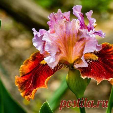 Скачать обои листья, цветок, лепестки, ирис, касатик разрешение 1024x1024 #144626 в Яндекс.Коллекциях