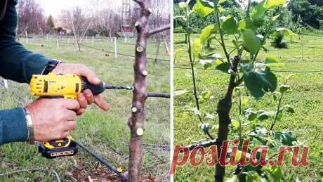 Прививка деревьев шуруповертом При толстом подвое, прививать к нему привой можно в отверстие, просверленное шуруповертом или дрелью. Это быстрый и достаточно эффективный способ, дающий хорошую приживаемость. Он позволит привить новые ветки даже на ствол подрощенного дерева. Что потребуется: Дрель; сверло равное по диаметру