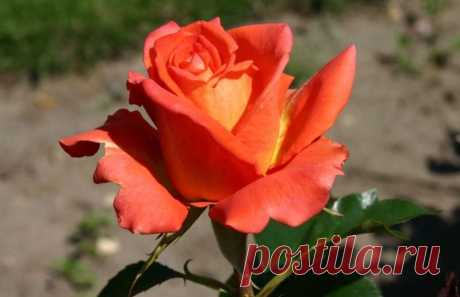 Моника: розы цвета пламени.