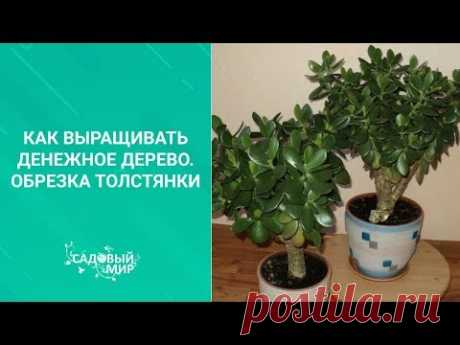 Как выращивать денежное дерево. Обрезка толстянки