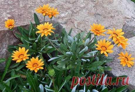 Выращивание гацании из семян, когда сажать цветок