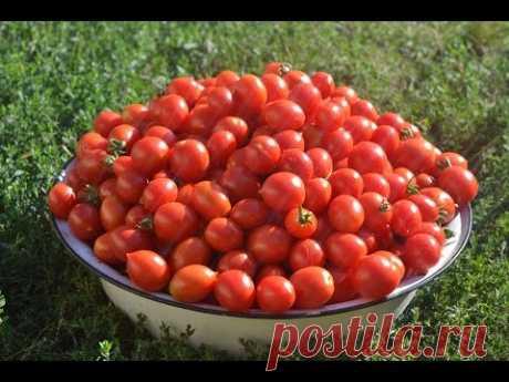 Выращивание высокорослых томатов в открытом грунте - YouTube