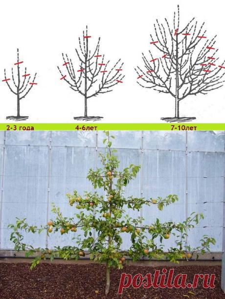 Как правильно делать обрезку плодовых деревьев? — 6 соток