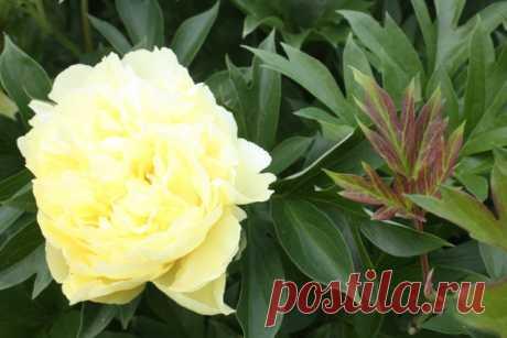 Календарь цветения многолетних и однолетних цветов. - Садоводка
